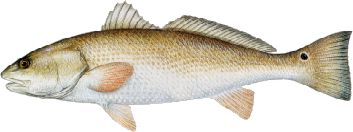 Mosquito Lagoon Redfish Indian River Redfish Florida